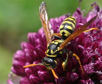 yellow jacket and venom allergy