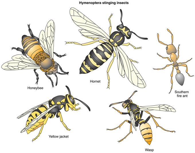 venomous insects and venom allergy