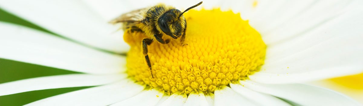 close up of bee in a daisy flower Colorado Allergy & Asthma Centers